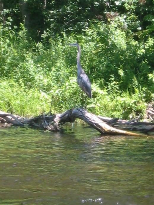 Farmington river brown trout fishing for Farmington river fishing