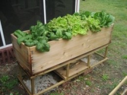 Lettuce Box with a variety of home-grown lettuce