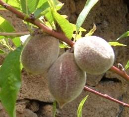 An old strain of peach