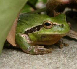 Stripeless Tree frog (Hyla meriodonalis)