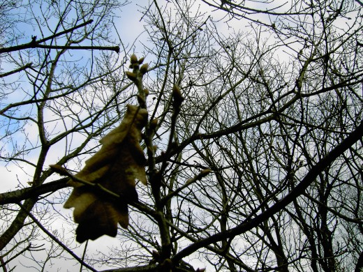 Oak buds and a withered leaf