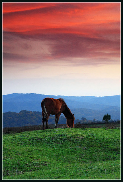 Mustang horse grazing at sunset.