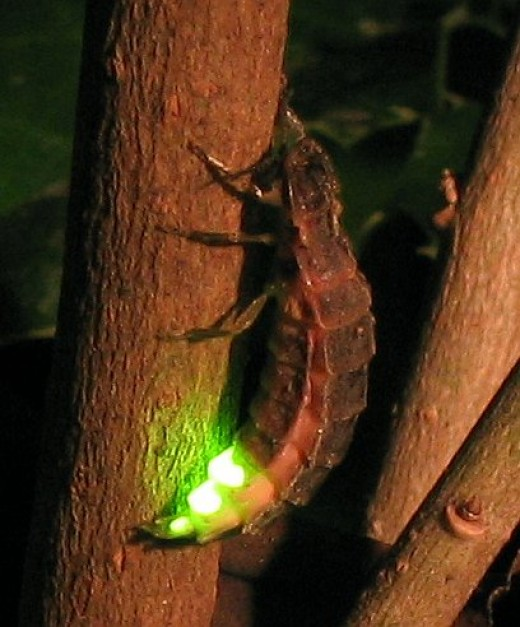 A female Lampyris noctiluca (the European glow worm) and her light