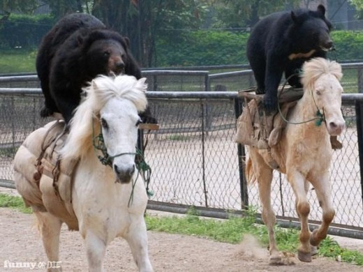 This is almost unbelievable, horses are supposed to be scared of bears