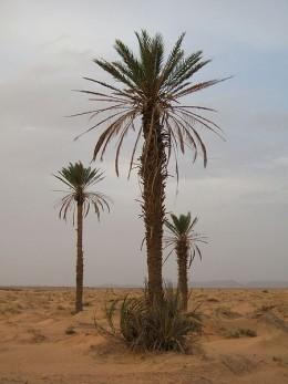 Date Palm (Phoenix dactylifera)