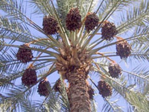Date Palm Clusters