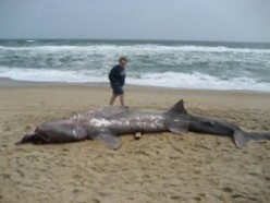 This is an actual picture of the shark! It's a good thing Dragan was drunk!