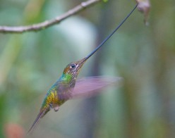 Sword-billed Hummingbird – A Tropical Rainforest Wonder