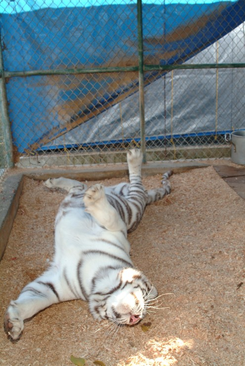 And for her finally; this white tiger takes a big cat roll in the dust, ending it with a super sized white tiger stretch!