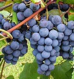 Terroir is the heart and soul of wine that starts with the grapes