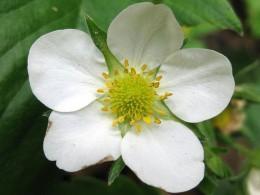 Strawberry Flower Closeup