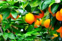 Buy Citrus Trees Online.