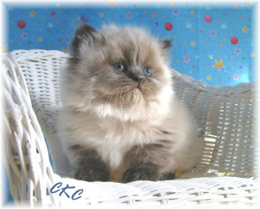 Teacup Persian Cats