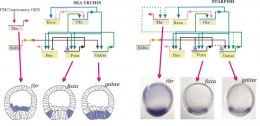 A gene regulatory network sub-circuit that is conserved between sea urchins and sea stars