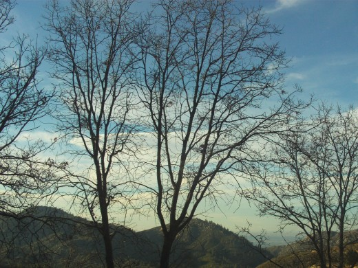 A view of oak trees in the San Bernardino Mountains.  Most of the leaves have fallen of these trees since it is winter.