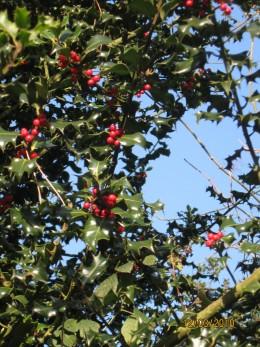 Holly. Dec 2010. Copyright Tricia Mason
