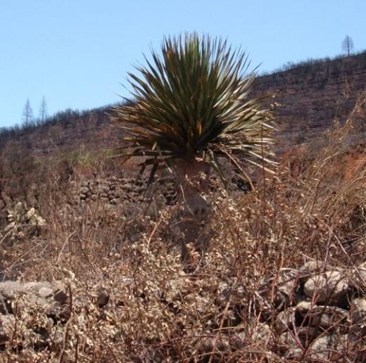 Dragon Tree survivor