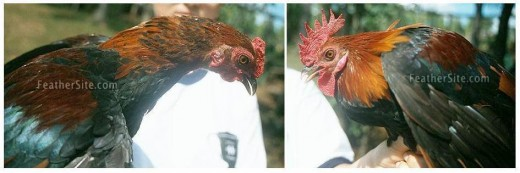 Eclipse Plumage on the left picture.  Normal full plumage on the right.