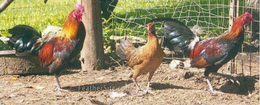 Two males separated by a hen. Eclipse bird is on the right.