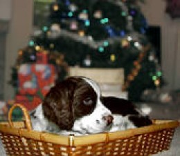 Don't give a puppy as a gift without prior consideration and planning.