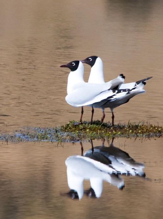 Andean Gull (Chroicocephalus serranus)