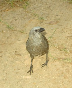 Aggressive butcher bird demanding my attention