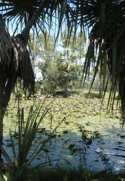 Oasis pond with waterlillies