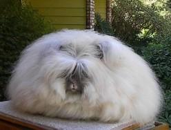 Long Hair Rabbit Care