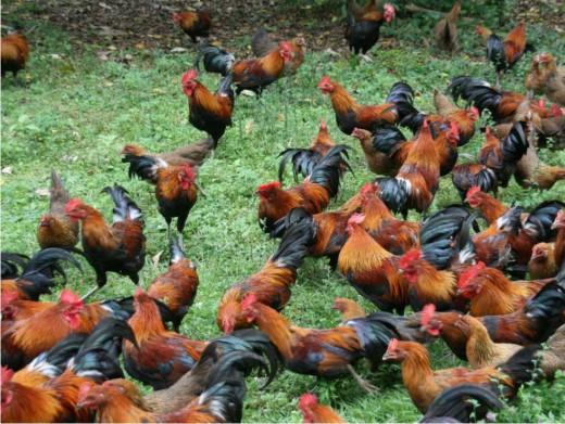 Red Jungle Fowl bred in a farmyard.