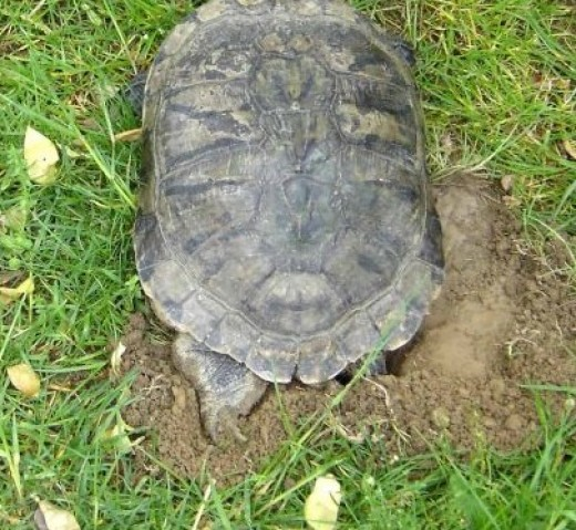 Red Eared Slider Turtle Shell Rot