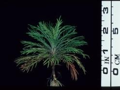 Standing Cypress Seedling: Photo Credit: Wildflower Center Staff, Lady Bird Johnson Wildflower Center