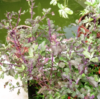 Tulsi plant also known as Basil