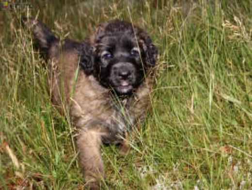 Leonberger puppy!