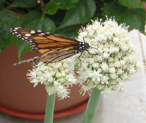 Monarch on onion flower