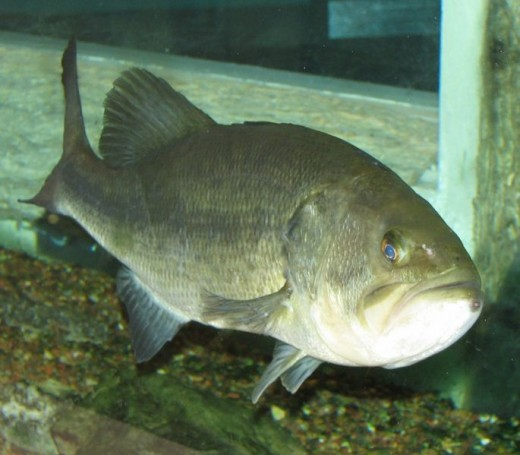 An angry-looking largemouth bass.