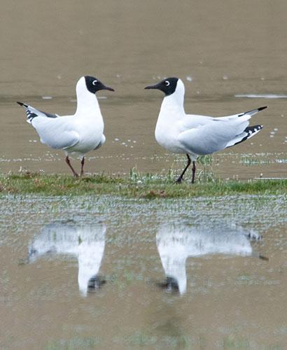 Andean Gulls