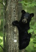 Pictures of Bears.  Black, Brown, and Grizzly. Polar and Pandas. Free, Public Domain.