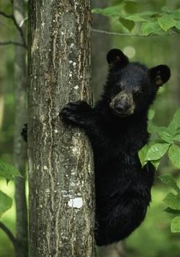 Baby black bear in tree.