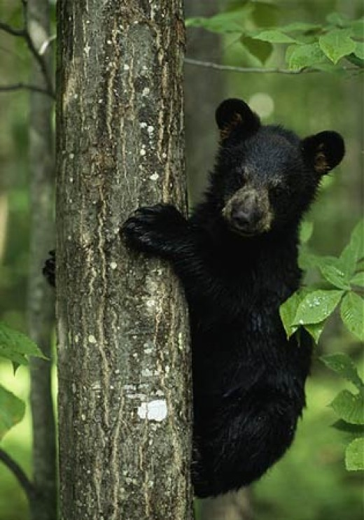 Baby black bear in tree.