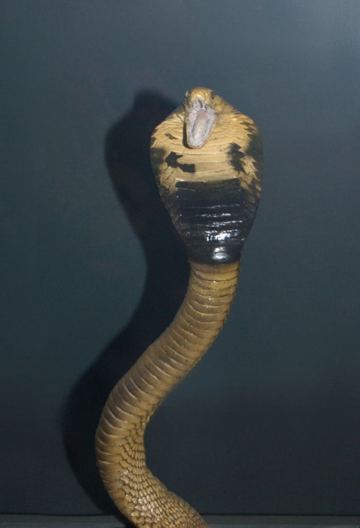 Cobra snake with hood flared and ready to STRIKE!