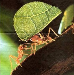 Worker ant carrying parcel of leaf
