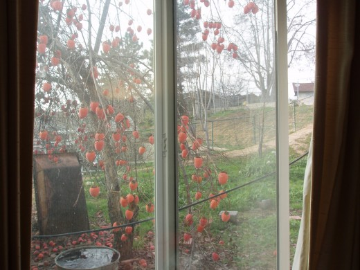 I love persimmons and lo and behold, right outside the window of my room is a persimmon tree!