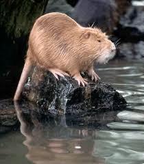 Nutria a Louisiana Rodent