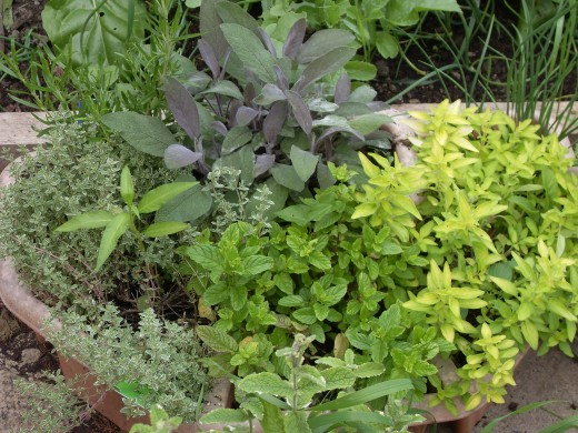 A wide selection of herbs can be grown from seed