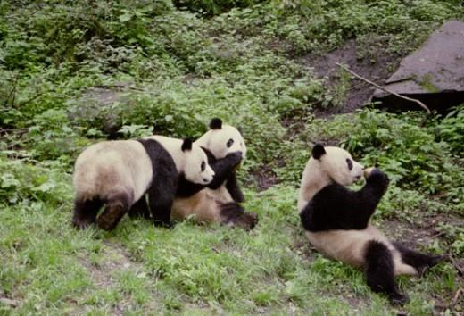 Panda bears.