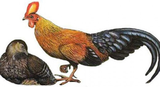 Wali Kukula (Gallus lafayettii Lesson) is endemic to Srilanka
