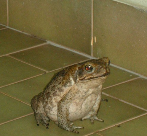 The beauty that is Cane Toad