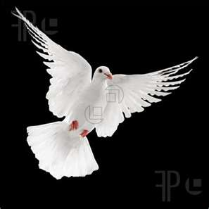 Picture of flying white dove ...