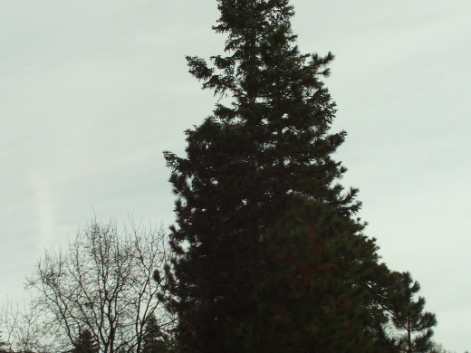 A picture of another beautiful evergreen tree in the San Bernardino Mountains.