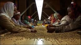 Ethiopian coffee pickers